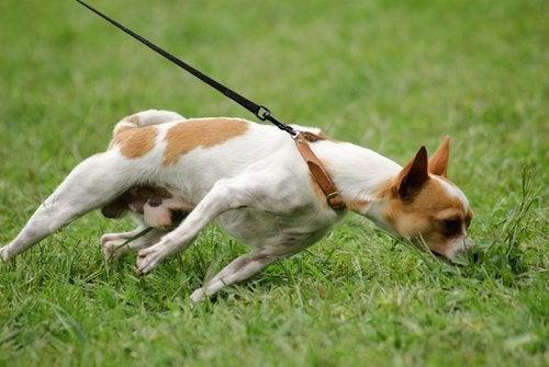 hond trekt aan de riem om te kunnen snuffelen