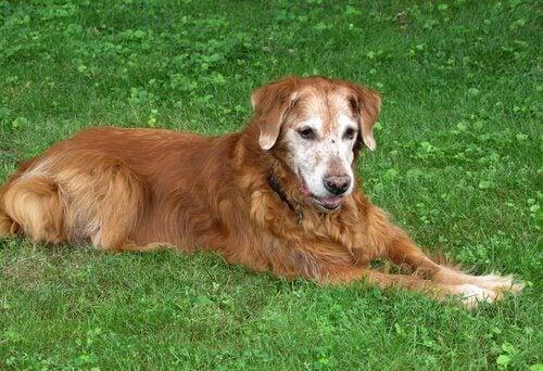 Een oudere hond ligt in het gras
