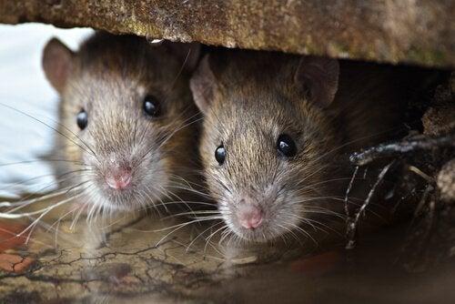 Ratten in een holletje