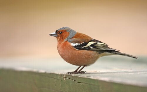 close-up van een vink