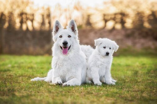 Zwitserse witte herder en een puppy