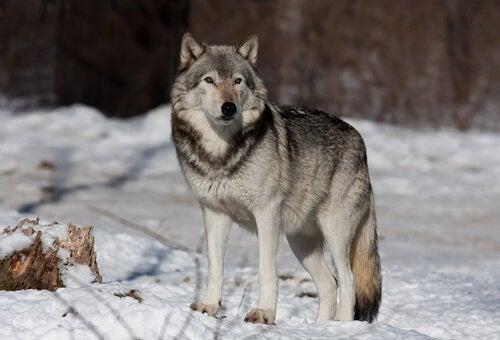Een wolf in de sneeuw