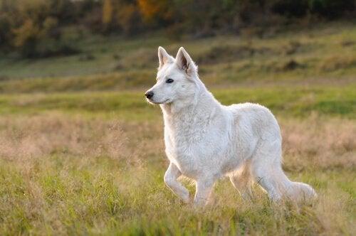 Een alerte witte herder in een veld