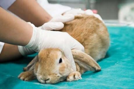 Een dierenarts kan je helpen bij de behandeling van konijnen met vlooien