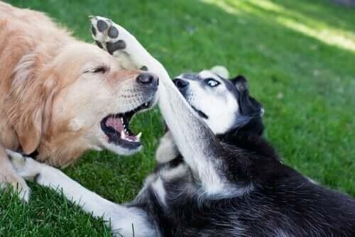 Twee vechtende honden op het gras