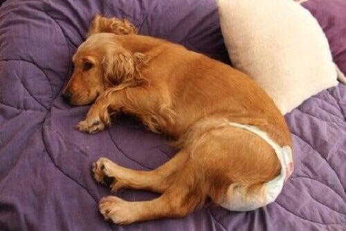 Hoe gebruik je hondenluiers