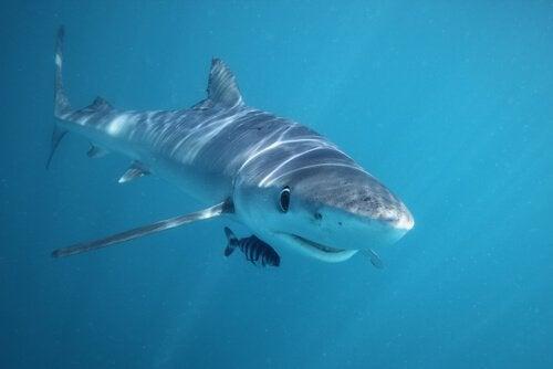 haai en kleinere vis