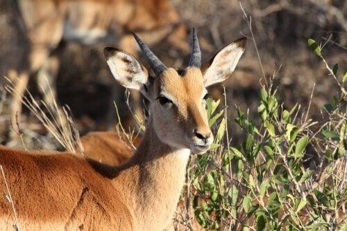 close-up van een impala