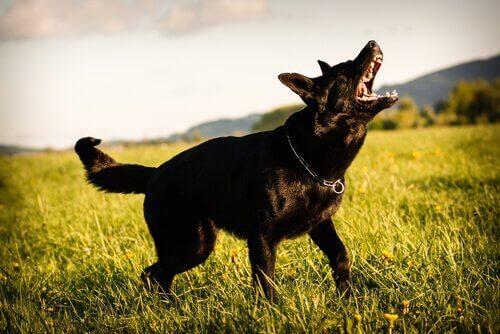 Anti-blafbanden voor honden: alles wat je moet weten