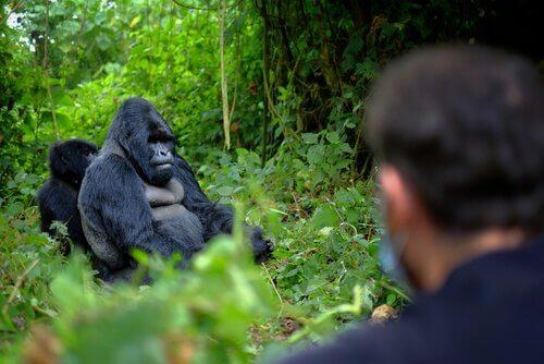 6 bewakers gedood voor het beschermen van gorilla's