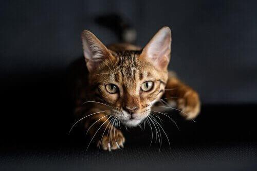 Hoe leren katten om te jagen?