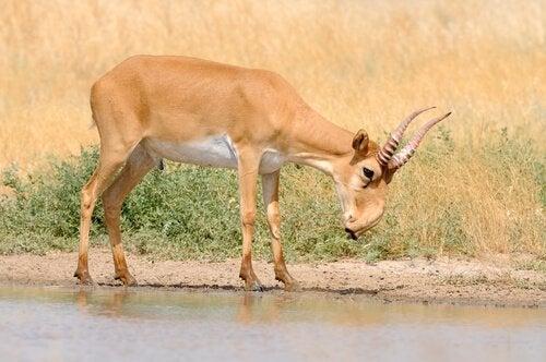 Een saiga-antilope die aan de rand van een kleine plas water staat