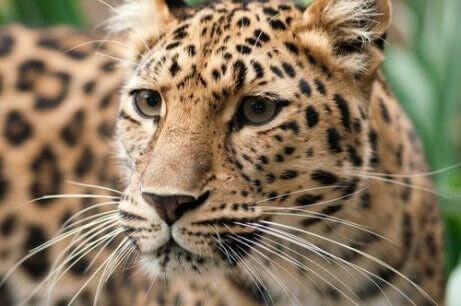 Een close-up van een Amoerpanter, een soort die met uitsterven bedreigd wordt