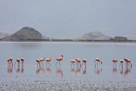 Een groep flamingo's aan het Natronmeer