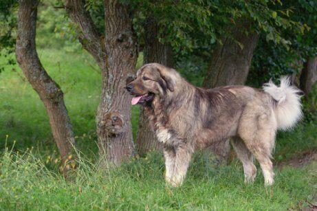 Een Kaukasische herdershond bij een boom