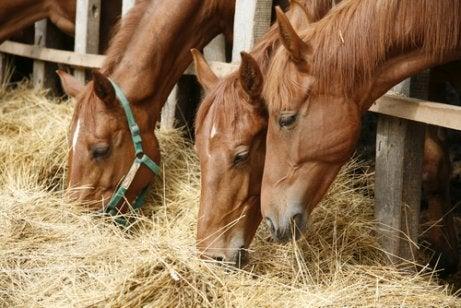 Paarden in een stal die hooi eten