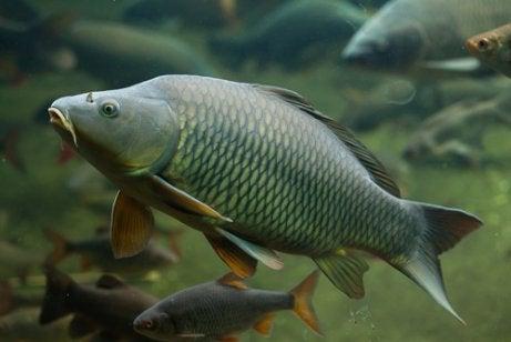 Het kweken van karpers en vijvervissen.
