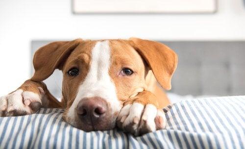 Een hond die over een bed kijkt