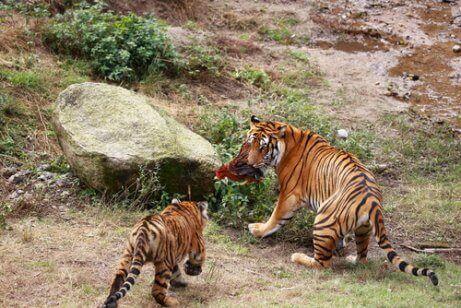 Twee Zuid-Chinese tijgers met een prooi