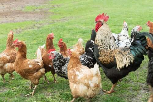 Kippen en een haan op het gras