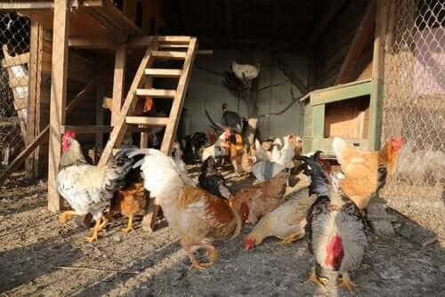 Grote groep kippen in een kippenhok