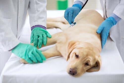 Hond wordt door de dierenarts onderzocht
