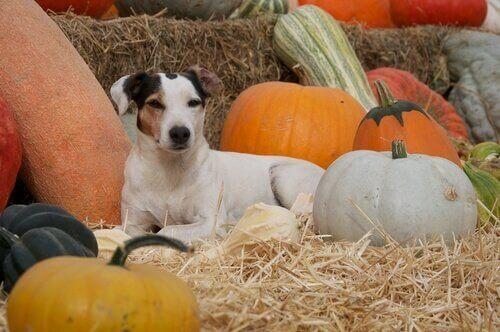 Hond ligt tussen de pompoenen