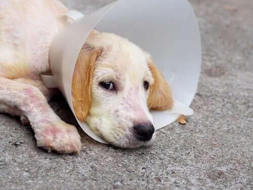 Hoe demodicose bij honden te behandelen