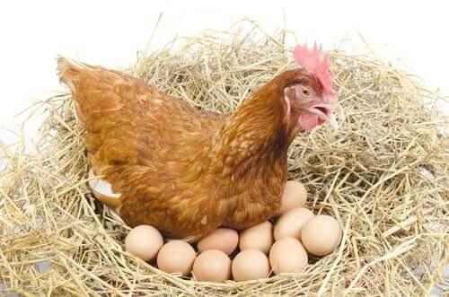 Een nest met kippeneieren