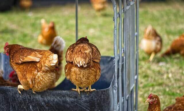 Twee kippen op de voorgrond
