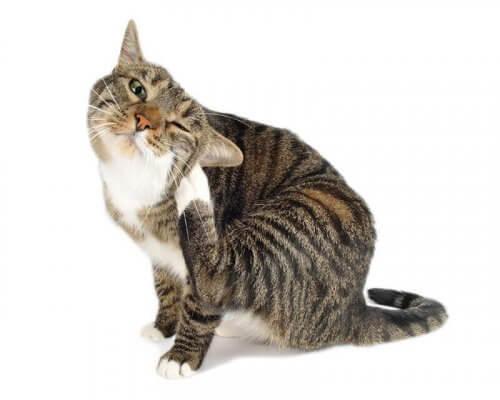 Vlooien bij katten: je kat tegen parasieten beschermen
