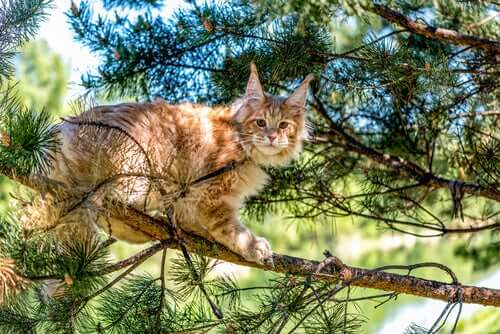 Maine coon in een boom