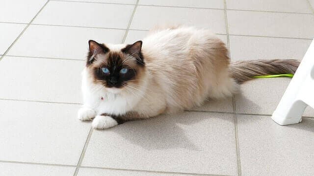 Ragdoll met blauwe ogen