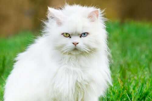 Kat met een blauw en een groen oog