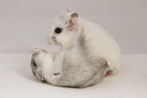 Hamsters in een gevecht