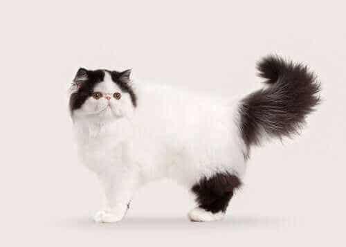 10 halflangharige en langharige kattenrassen