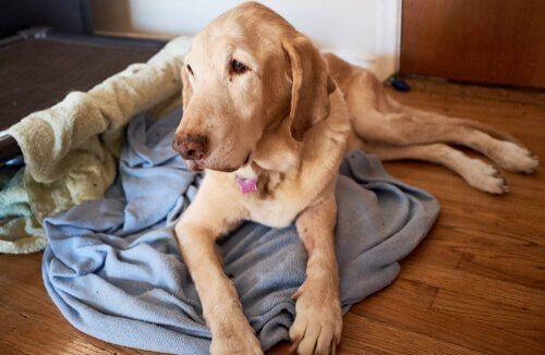 Geheugenverlies bij honden: symptomen en verzorging