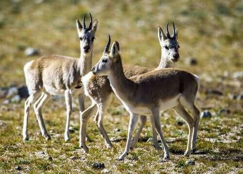 Jonge Tibetaanse antilope kalveren