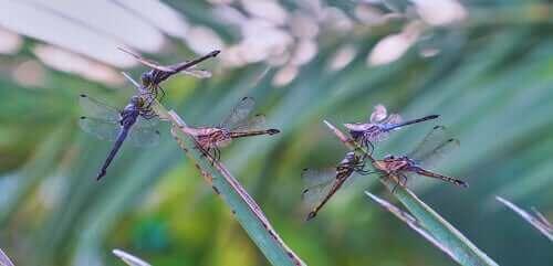 Libellen op planten