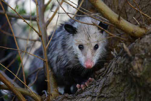 Alles over het gedrag en de kenmerken van opossums