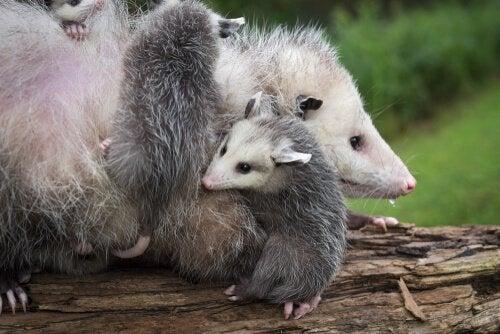 Een opossummoeder met haar pups