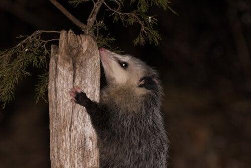 Opossum klimt in een boomstam