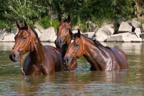 Paarden staan in het water af te koelen