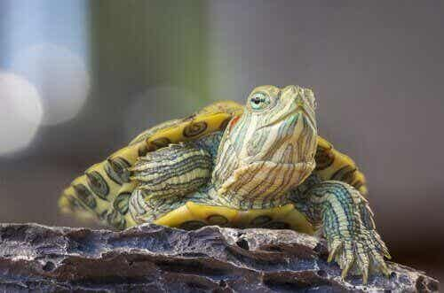 Rinitis bij schildpadden en hoe het te behandelen