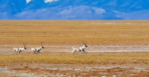 Tibetaanse antilope op een uitgestrekte vlakte