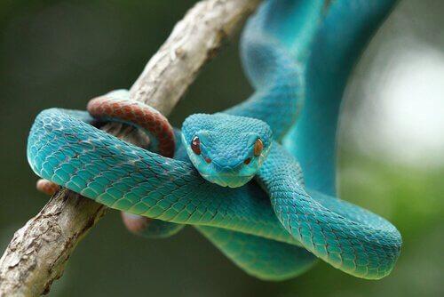 Een blauwe slang in een tak