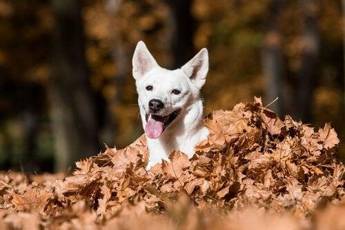 Een canäanhond speelt met de bladeren