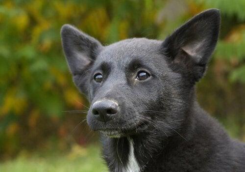 Een zwarte canaänhond