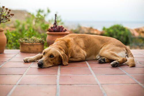 Een hond ligt op de tegels van een patio