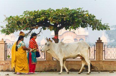 Koeien zijn heilige dieren in India